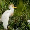 Cattle Egret near nest<br /> © Sparkle Clark