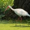 White Ibis in duckweed<br /> © Sparkle Clark