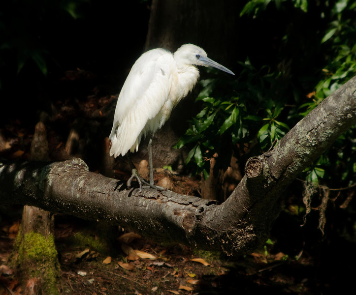 Immature Little Blue Heron on log<br /> © Sparkle Clark