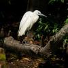 Immature Little Blue Heron on log<br /> © Sparkle Clark