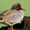 Green-winged Teal, male<br /> © Sparkle Clark