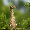 Juvenile Black-crowned Night Heron<br /> © Sparkle Clark