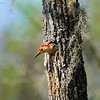 Red-bellied Woodpecker<br /> <br /> © Sparkle Clark