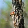 Red-bellied Woodpecker<br /> <br /> © Sparkle Clark