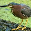 Green Heron<br /> <br /> © Sparkle Clark