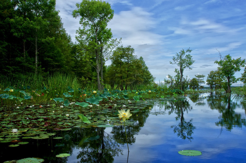Lake Moultrie Lotus 4<br /> © Sparkle Clark