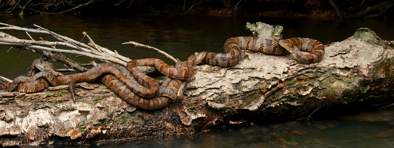 Mating Banded Watersnakes<br /> © Sparkle Clark