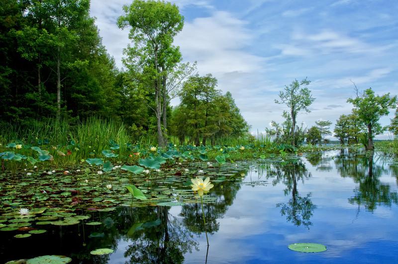 Lake Moultrie Lotus 5<br /> © Sparkle Clark