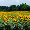 A Million Sunflowers<br /> <br /> © Sparkle Clark
