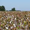 Cotton Field off of  Hwy 601 near Wiles Crossroads<br /> © Sparkle Clark