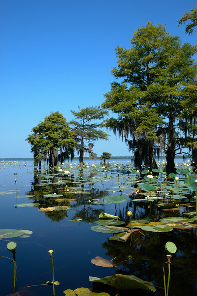 Lotus lake III<br /> © Sparkle Clark