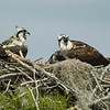 Osprey with Nestlings<br /> © Sparkle Clark