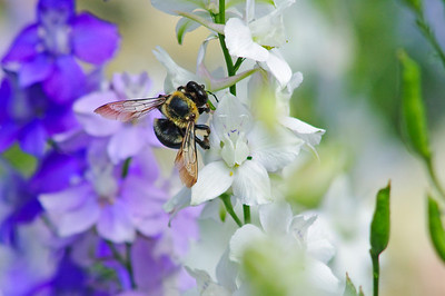 Bee on White 2 © Sparkle Clark