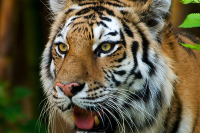 Siberian Tiger III © Sparkle Clark