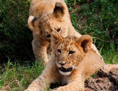 Lion Cubs © Sparkle Clark