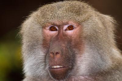 Hamadryas Baboon  © Sparkle Clark