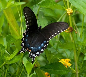Spicebush Swallowtail  © Sparkle Clark