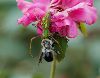 Faded Rose, Faded Bee, Healthy Lynx © Sparkle Clark