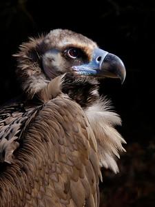 Cinereous Vulture © Sparkle Clark