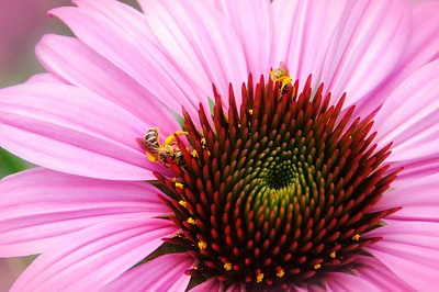 Variations on a Coneflower Part 2 © Sparkle Clark
