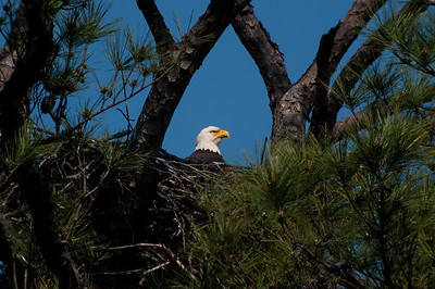 Bald Eagle on nest © Sparkle Clark