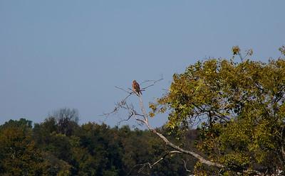 Red-shouldered Hawk overseeing the dam © Sparkle Clark
