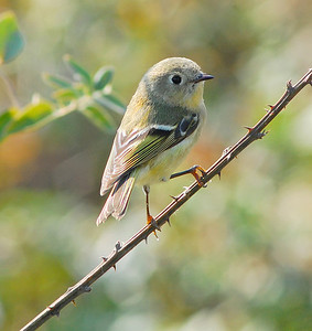 Ruby-crowned Kinglet © Sparkle Clark