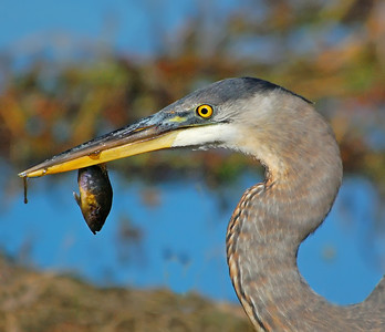 Juvenile Great Blue Heron with breakfast © Sparkle Clark