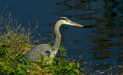 Great Blue Heron at the canal in the vegetation © Sparkle Clark