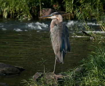 Early morning Great Blue Heron © Sparkle Clark