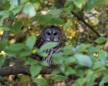 Barred Owl, George hiding in the vegetation © Sparkle Clark
