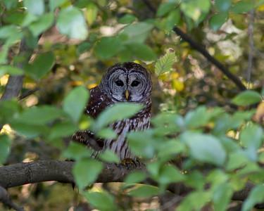 Barred Owl, George hiding in the vegetation © Sparkle Clark