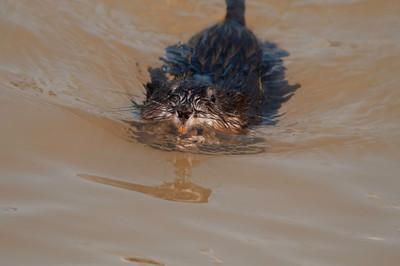 Muskrat swimming © Sparkle Clark