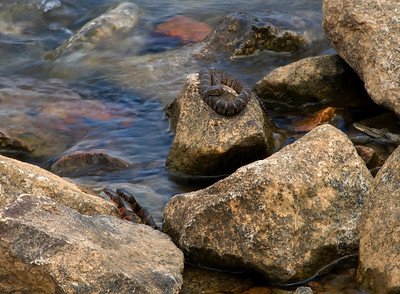 Three Little Baby banded watersnakes © Sparkle Clark