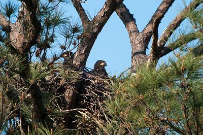 Bald Eaglets © Sparkle Clark