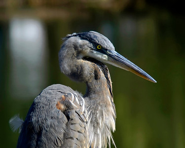 Great Blue Heron in the late afternoon © Sparkle Clark