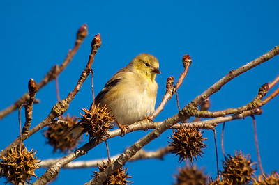American Goldfinch © Sparkle Clark