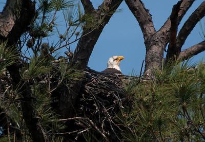 Bald Eagle with eaglets © Sparkle Clark