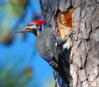 Pileated Woodpecker © Sparkle Clark