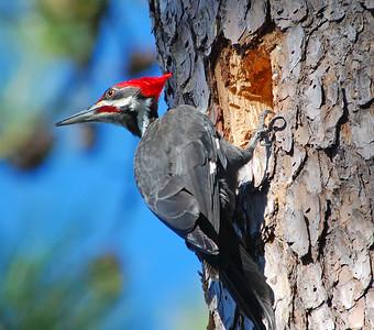 Pileated Woodpecker © Sparkle Clark
