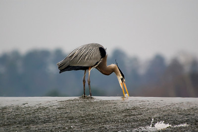 Great Blue Heron drinking water on top of dam © Sparkle Clark