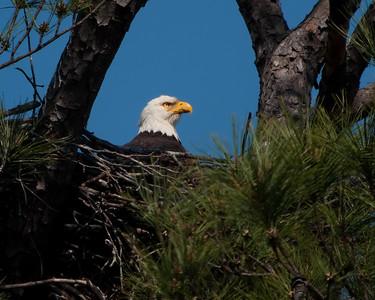 Bald Eagle on nest, close view © Sparkle Clark