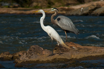 Great Egret, Great Blue Heron, breeding plumage © Sparkle Clark