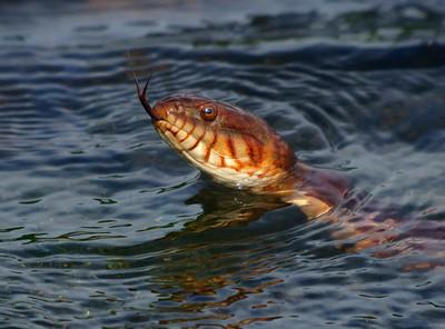 Watersnake Parent © Sparkle Clark