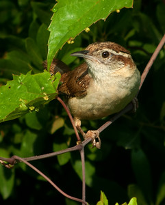 Carolina Wren © Sparkle Clark