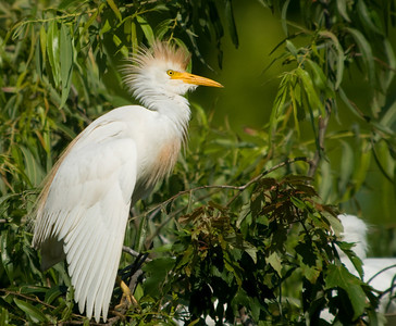Cattle Egret near nest © Sparkle Clark