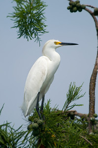 Snowy Egret © Sparkle Clark