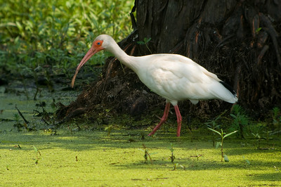 White Ibis in duckweed © Sparkle Clark