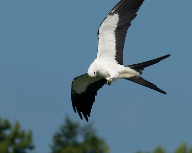 Swallow-tailed Kite with junebug in talons © Sparkle Clark