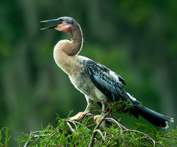 Anhinga, fledgling in late May © Sparkle Clark